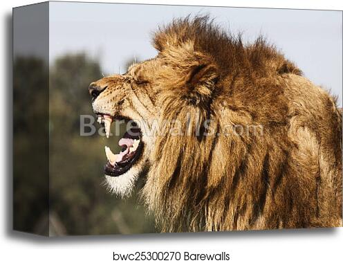 canvas print of angry lion barewalls posters prints bwc25300270