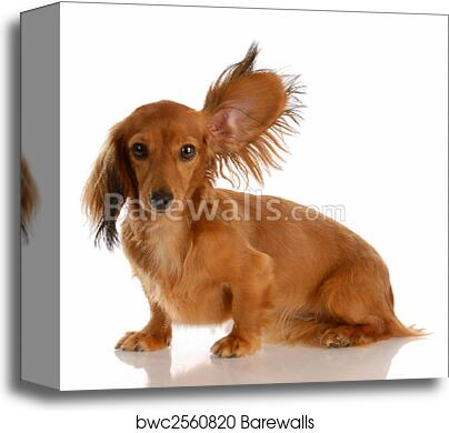 Long Haired Miniature Dachshund With One Ear Standing Up Listening Canvas Print