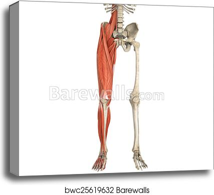Canvas Print Of Legs Muscles Anatomy Barewalls Posters Prints