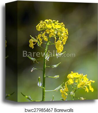 Canvas print of white mustard sinapis alba barewalls posters yellow flowers of white mustard sinapis alba canvas mightylinksfo