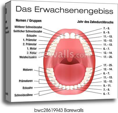 Teeth Diagram Names   Wiring Diagrams on