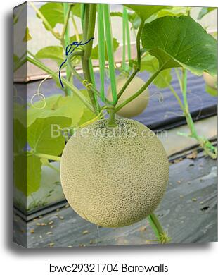 Melon Or Cantaloupe Fruit On Its Tree Canvas Print Barewalls Posters Prints Bwc29321704 1 2 3 4 5. melon or cantaloupe fruit on its tree
