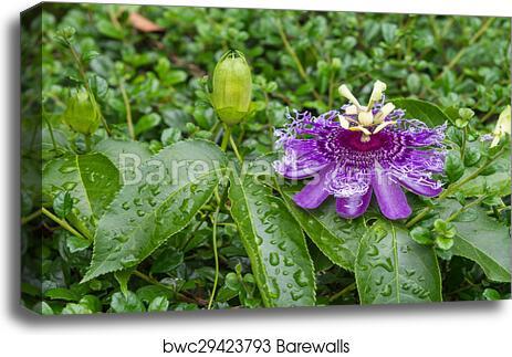Passion Fruit Flower Passiflora Incarnata Canvas Print