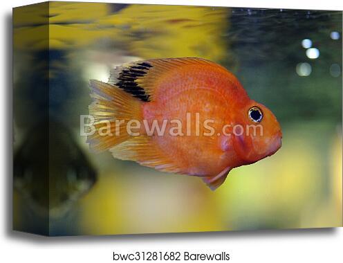 canvas print of blood red parrot cichlid aquarium fish barewalls