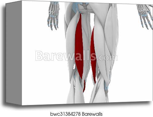 Canvas Print of Semitendinosus - Muscles anatomy map | Barewalls ...