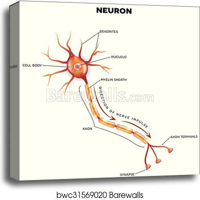labeled diagram of the neuron, canvas print