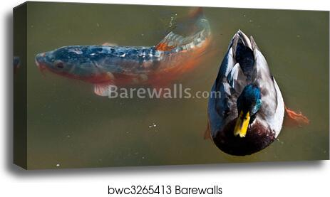 Koi Fish 1 Art Print Canvas Print Home