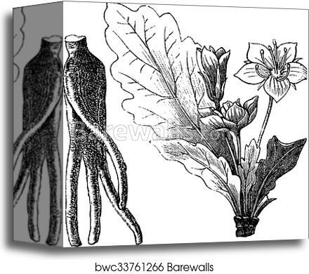 Mandrake root or Mandragora officinarum vintage engraving, Canvas Print |  Barewalls Posters & Prints | bwc33761266