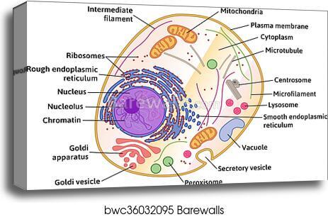 canvas print of vector human cell structure barewalls posters rh barewalls com detailed sperm cell diagram detailed human cell diagram