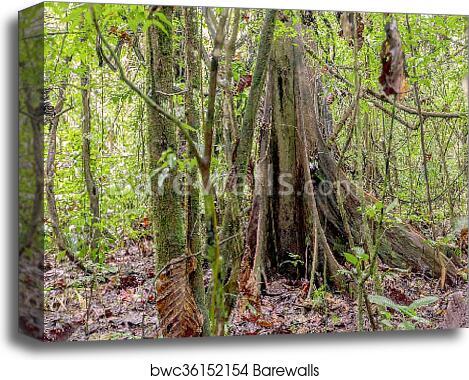 Kapok Tree, Ceiba Pentandra canvas print