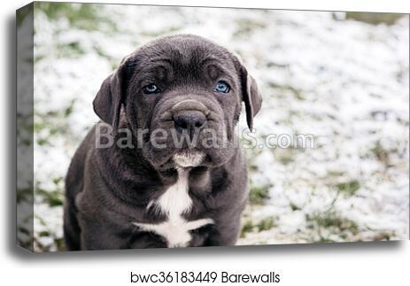 Digital Download Black Cane Corso Dog Art Brewery /& Pub Italy Print