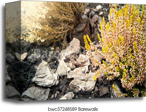 Toned Photo Of Small Pink And Yellow Flowers Growing On Ground Covered With Tree Bark Canvas Print