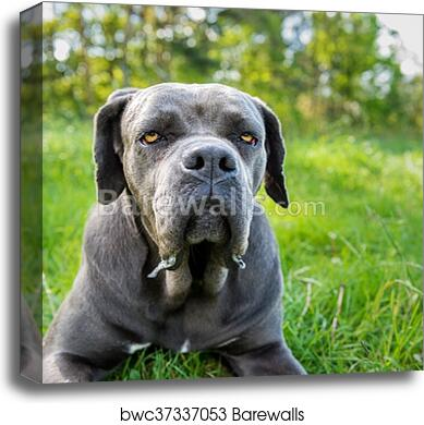 Cane Corso Italian Mastiff Dog Canvas