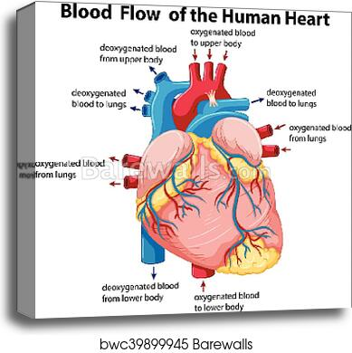 Diagram Showing Blood Flow In Human Heart Canvas Print