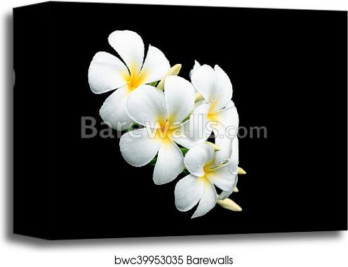 Canvas print of white and yellow tropical flowers frangipani canvas print of white and yellow tropical flowers frangipani plumeria isolated on black mightylinksfo