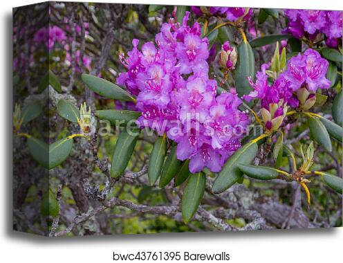 Rhododendron Flowers Bloom In Late Spring Canvas Print Barewalls