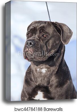 Canvas Print Of Cane Corso Italiano Dog Winter Portrait Barewalls