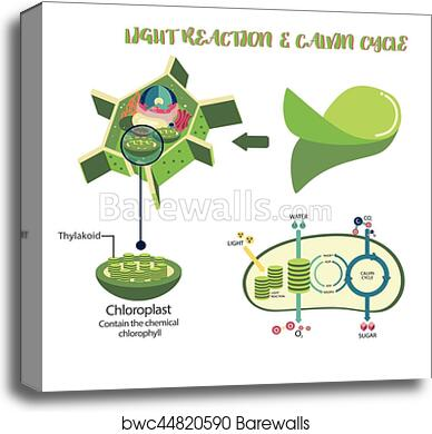 Canvas print of photosynthesis process diagram barewalls posters canvas print of photosynthesis process diagram ccuart Image collections