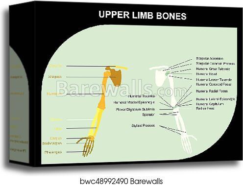 Canvas Print of Upper Limb Bones Anatomy | Barewalls Posters ...