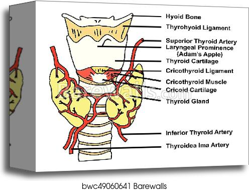 Thyroid Gland Anatomical Structure And Arteries Supply Diagram Canvas Print Barewalls Posters Prints Bwc49060641