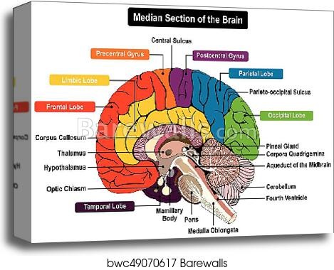 median section of human brain diagram, canvas print
