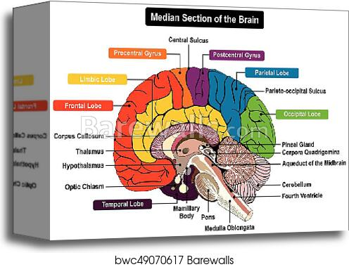 Canvas print of median section of human brain diagram barewalls canvas print of median section of human brain diagram ccuart Gallery