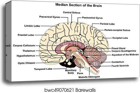 Canvas Print Of Median Section Of Human Brain Diagram Barewalls