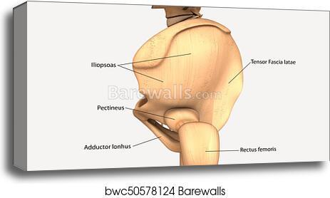 Canvas Print Of 3d Illustration Of Human Body Hip Bone Anatomy