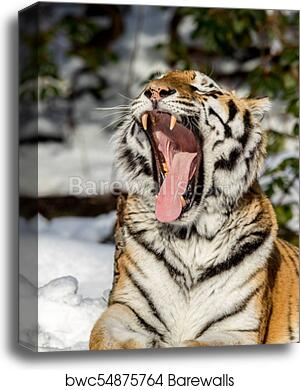 The Tiger and the Teeth High quality Photo print canvas choose your size