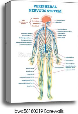 full spinal cord diagram wiring diagram online Spinal Cord Diagram Body canvas print of peripheral nervous system, medical vector spinal cord computer full spinal cord diagram