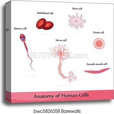 Canvas Print Of Human Cells Barewalls Posters Prints Bwc5826358