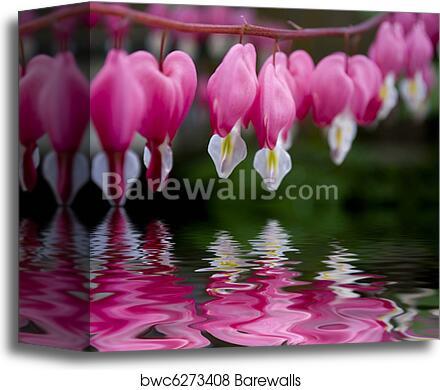 Canvas print of bleeding heart flower dicentra barewalls posters canvas print of bleeding heart flower dicentra mightylinksfo