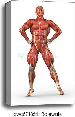 Canvas Print Of Man Muscular System Anterior View In Body Builder