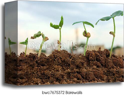 canvas print of seedlings growing from soil barewalls posters