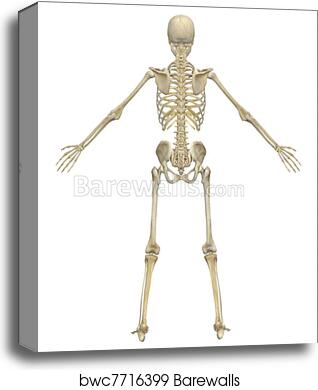 Canvas Print Of Human Skeleton Anatomy Rear View Barewalls Posters