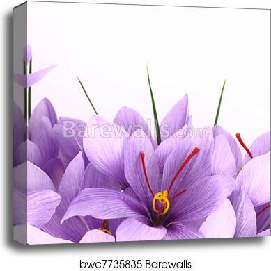 Purple Saffron Crocus Flowers Banner Canvas Print Barewalls