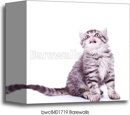 canvas print of baby silver tabby cat licking its nose barewalls