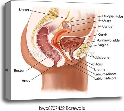 Canvas Print of Female urinary system | Barewalls Posters & Prints ...