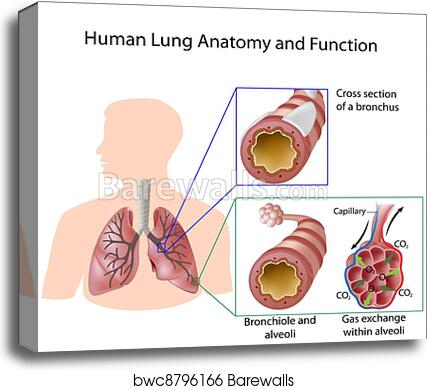 Canvas Print of Human lung anatomy & function, eps8 | Barewalls ...
